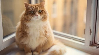 cat sat on windowsill obesity pages only