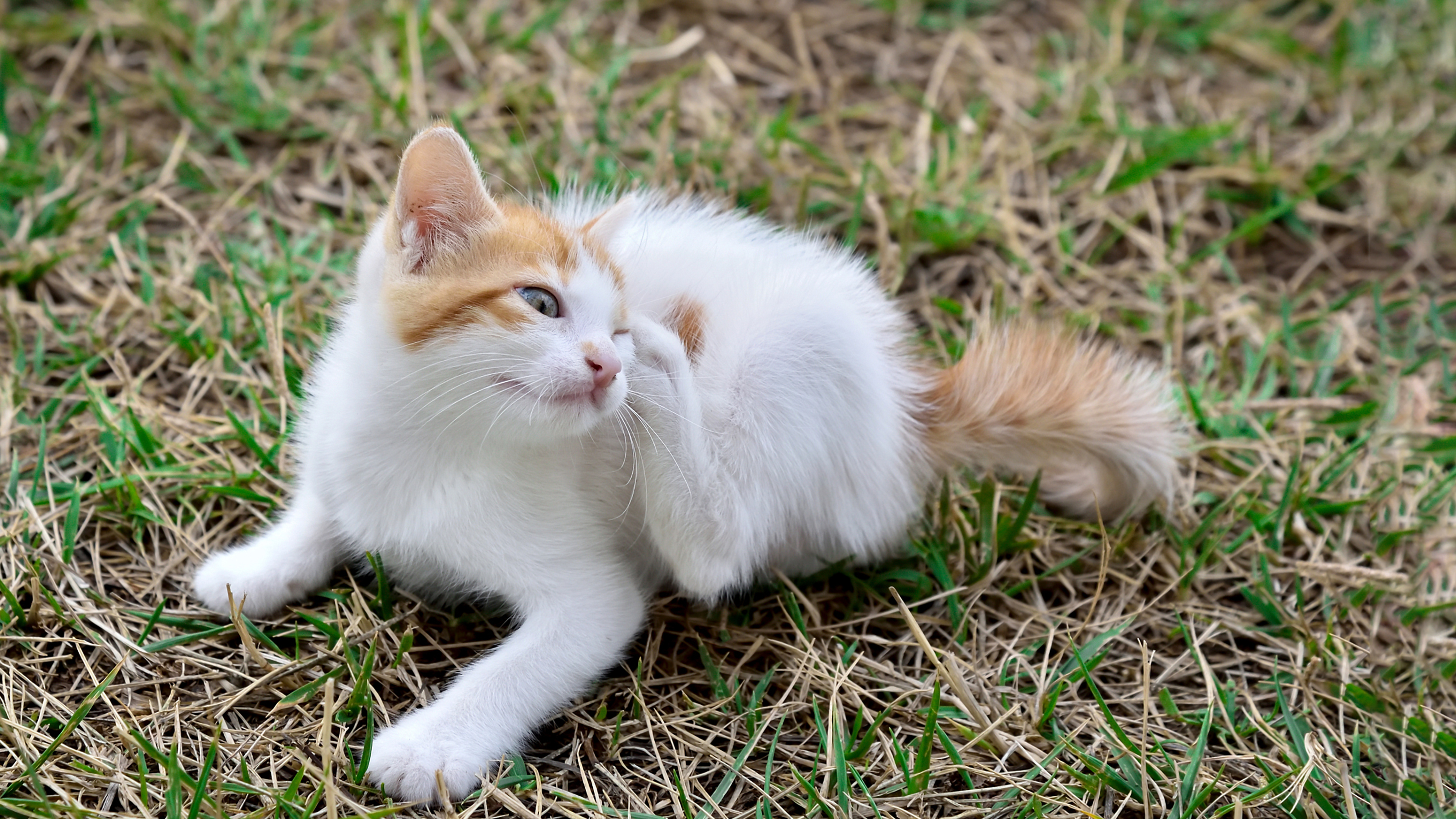 How To Protect Cats From Fleas Cat Advice Vets4pets