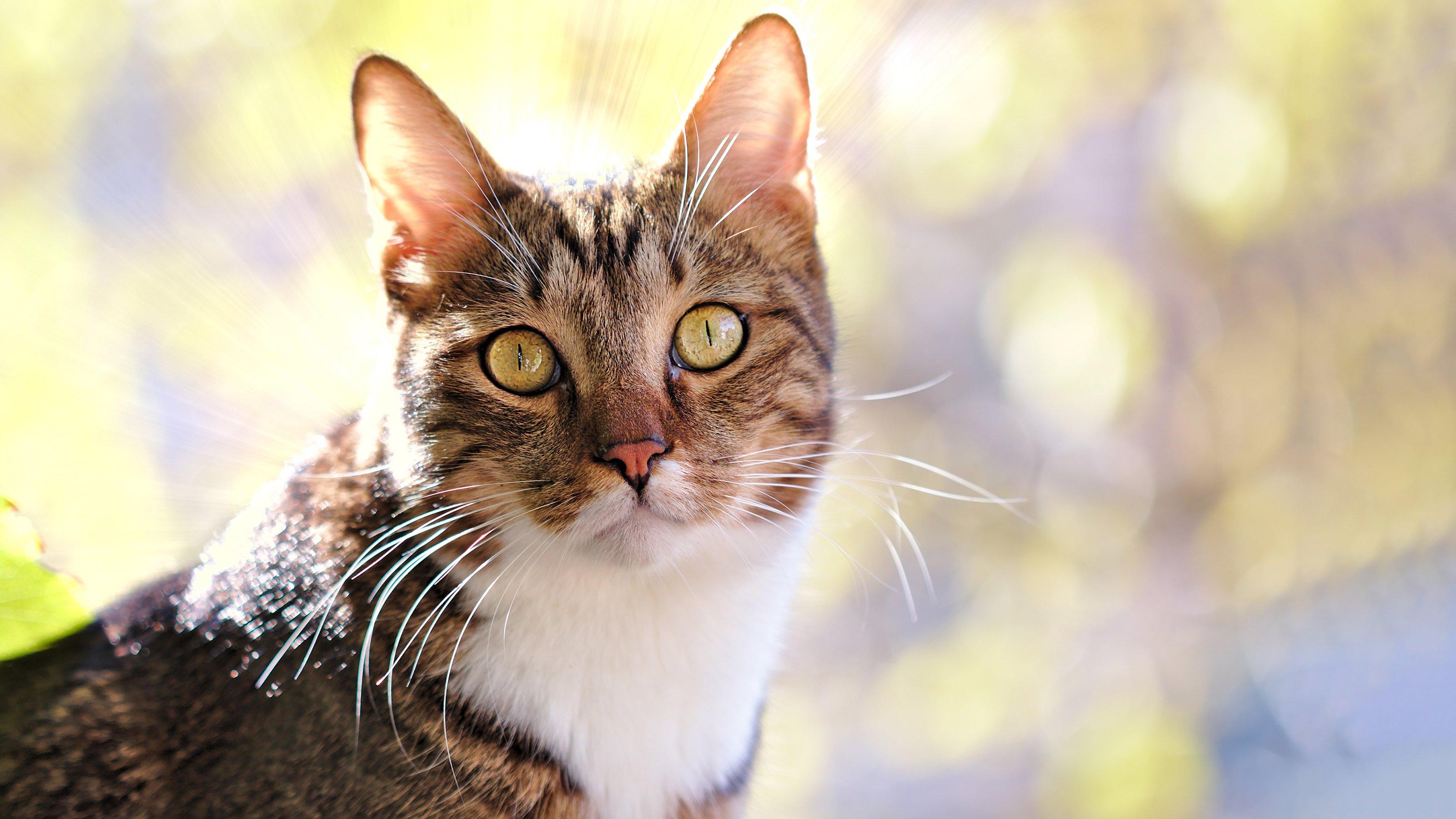 Neutering Your Cat Cat Advice Vets4pets