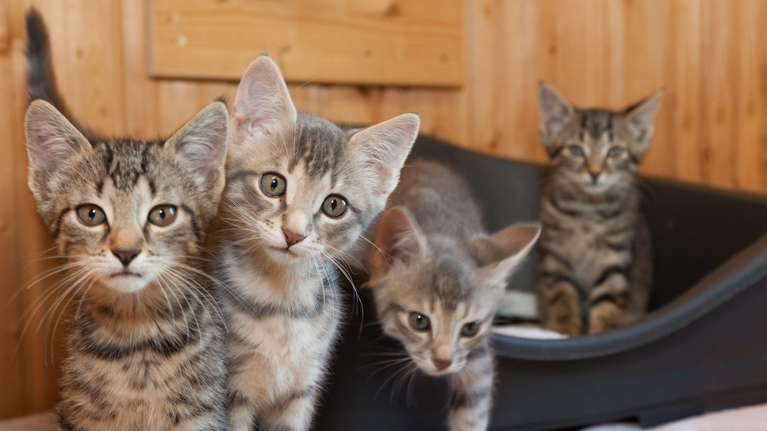 The Kitten Socialisation Period Cat Advice Vets4pets
