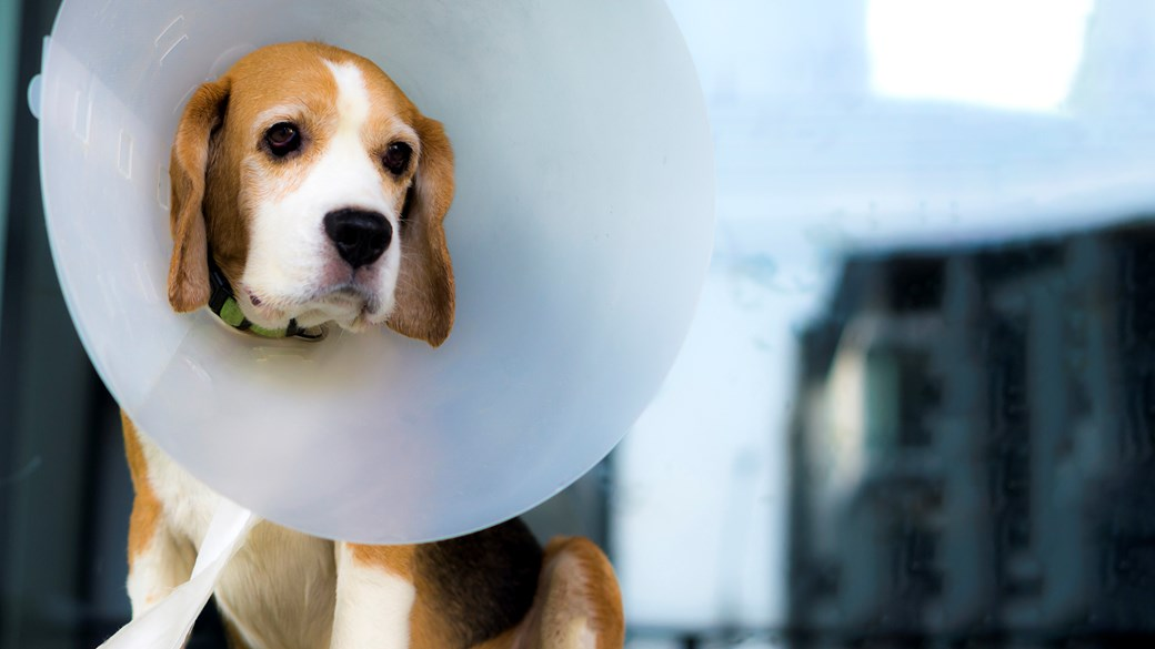 beagle dog with surgical cone