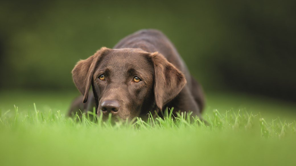chocolate labrador dog in field