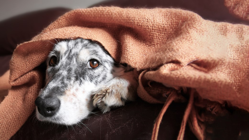 dog hiding under blanket looking scared