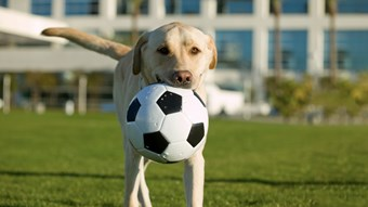 dog playing with football