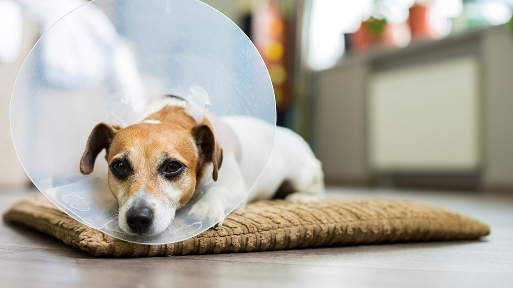 dog with cone lying down