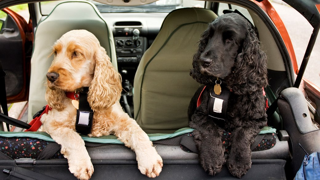 dogs in back of car