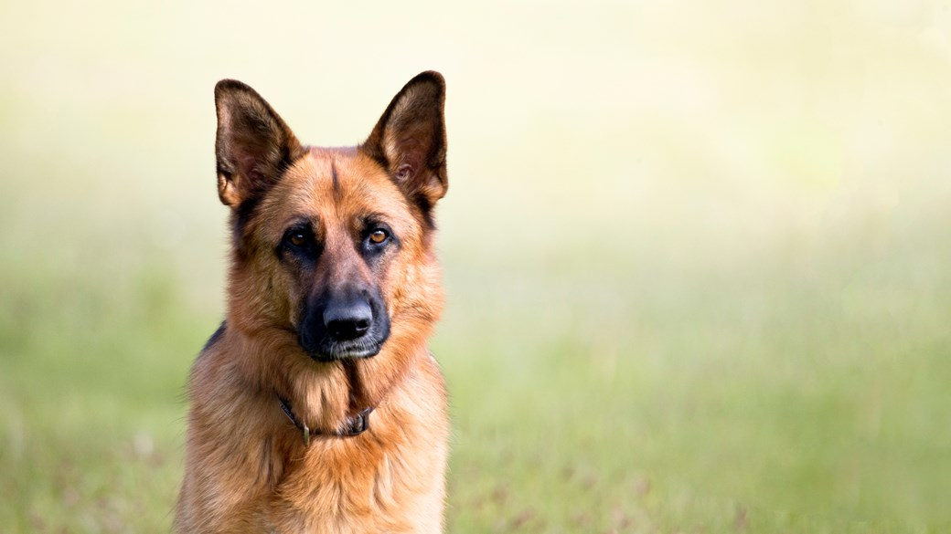 german shephard dog outside sitting