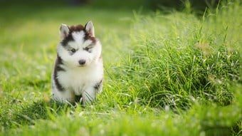 husky puppy on dog walk
