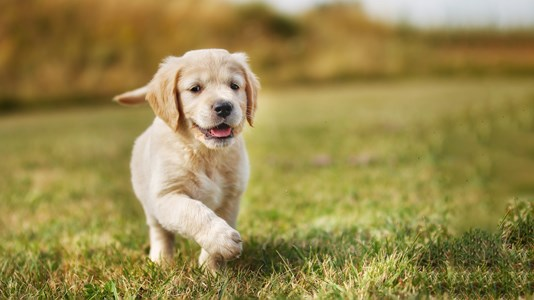 puppy running playing