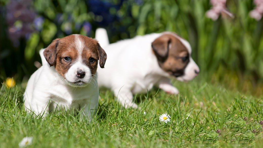 two puppies playing outside in grass