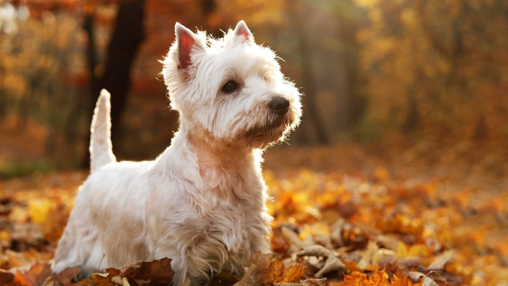 scottie dog in autumn forest