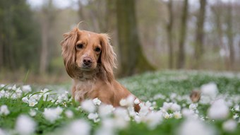 spaniel dog in field of flowers