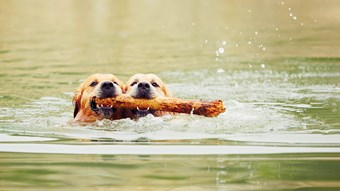 two dogs swimming with sticks