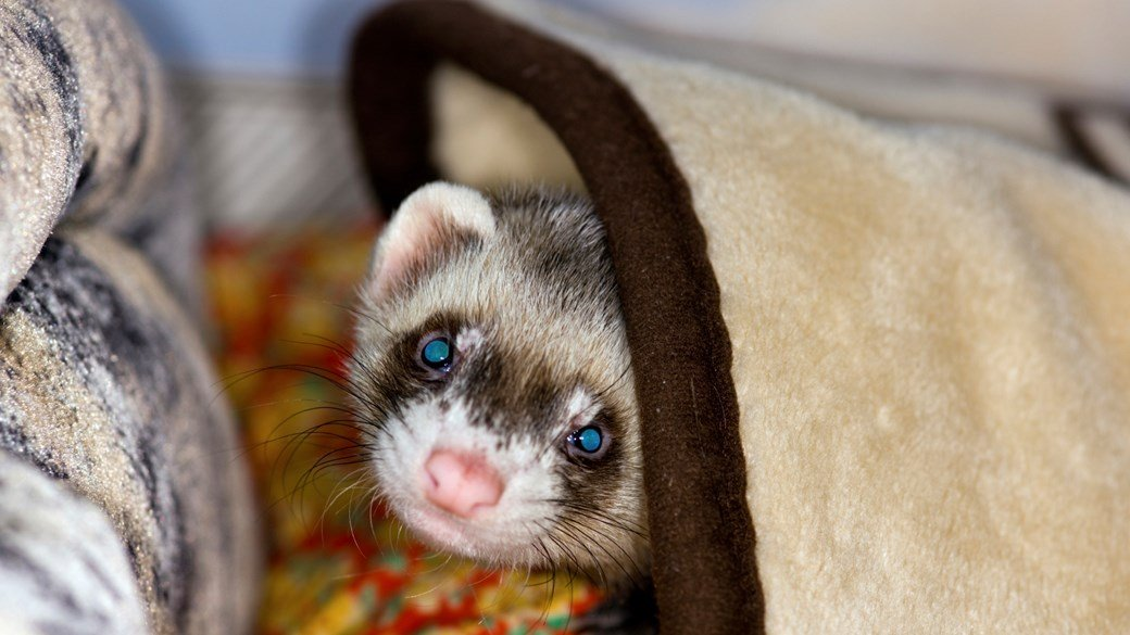 ferret in home