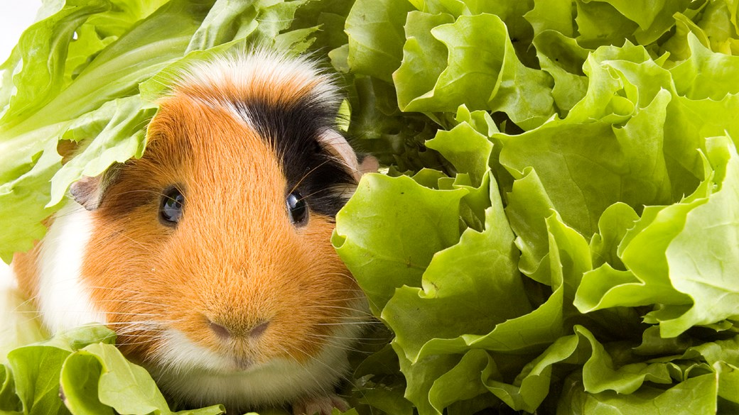 guinea pig food diet