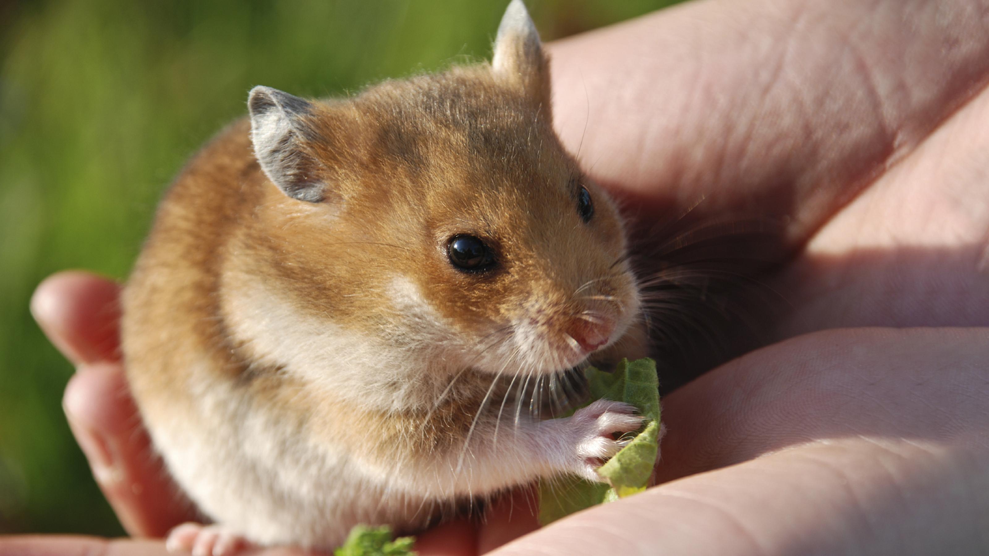 binatang peliharaan anak kost -hamster