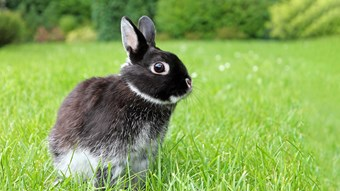 black bunny in field