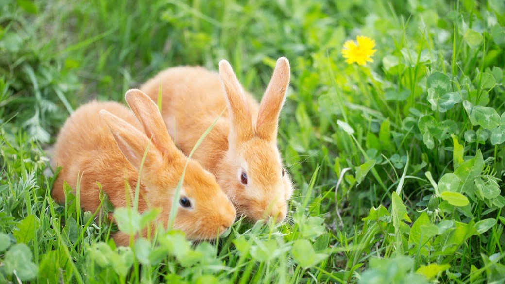 ginger rabbits eating grass