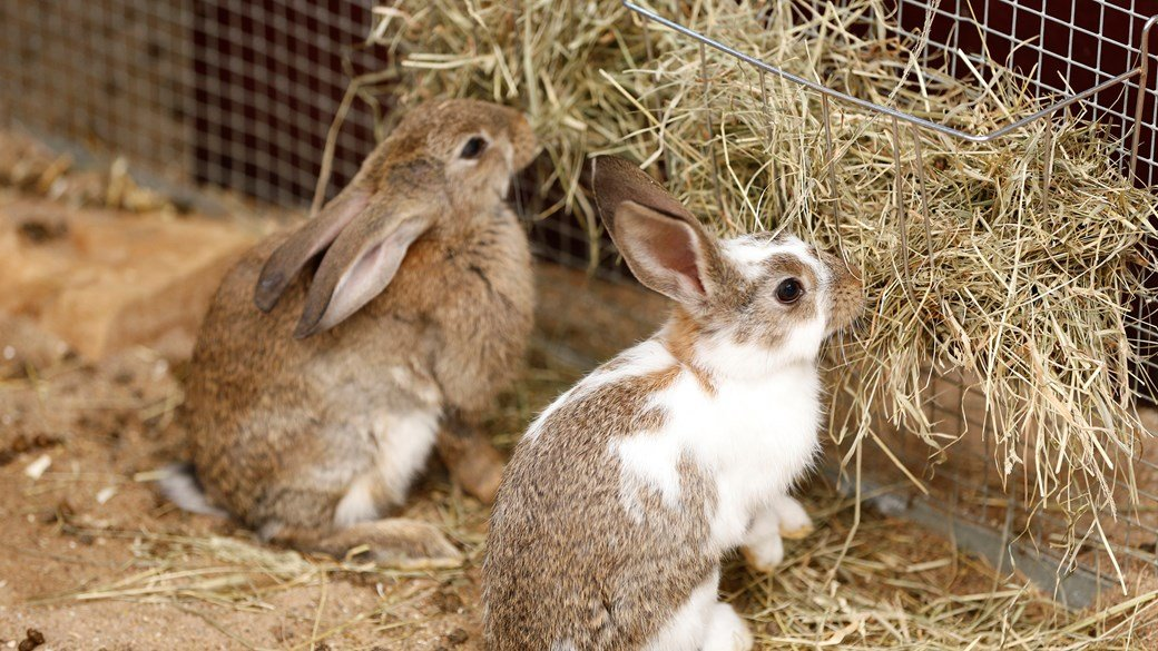 two rabbits eating hay