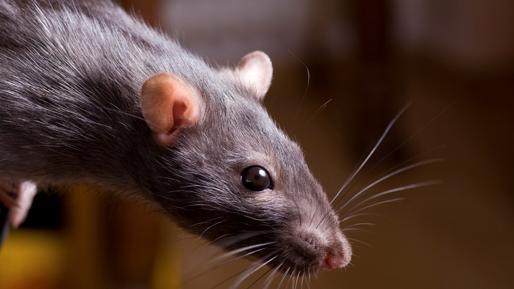 rat close up 2
