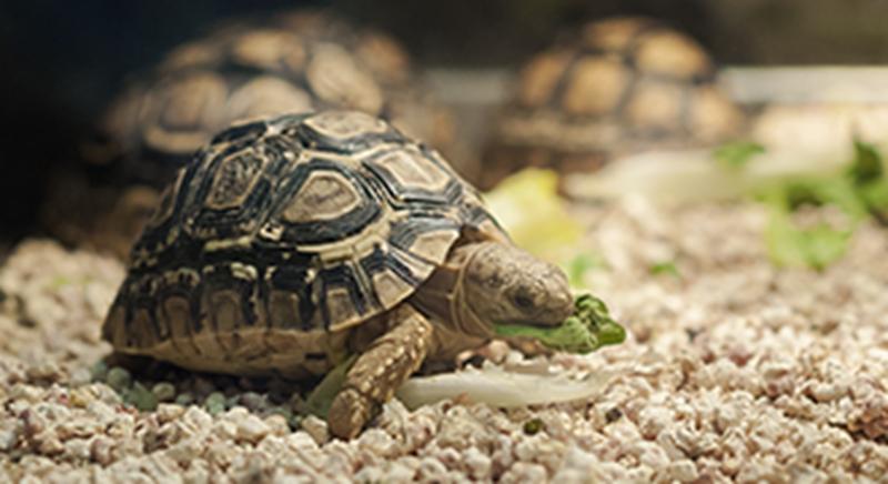 Tortoise 330 x 18
