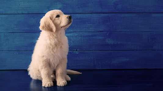 puppy-on-blue-background