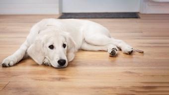 anxious dog lying down