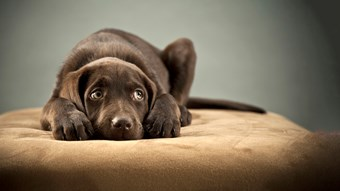 chocolate labrador looking anxious