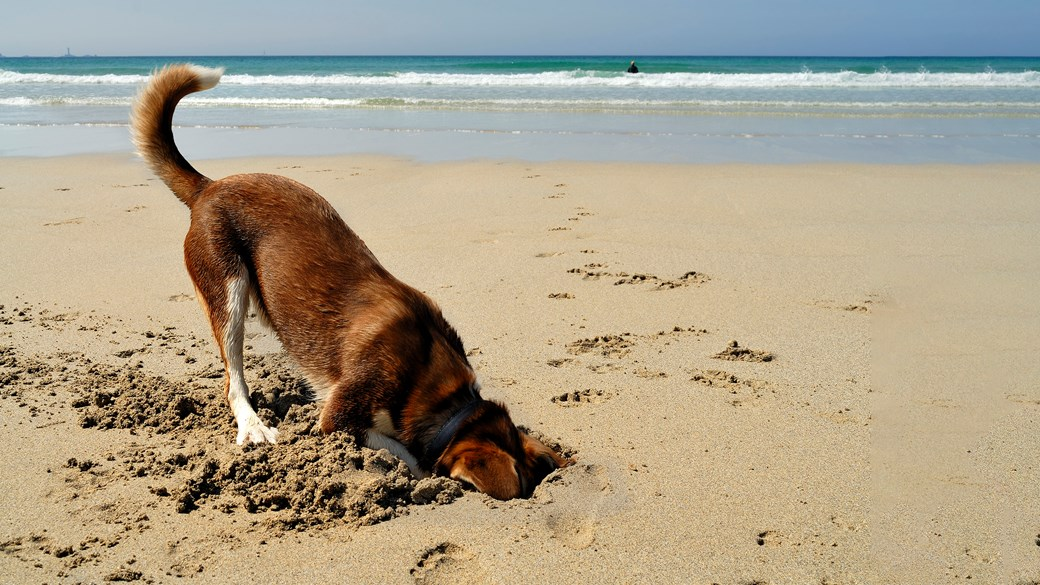 dog digging on beach summer