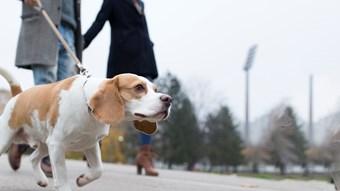 dog on walk on lead
