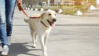 dog on walk
