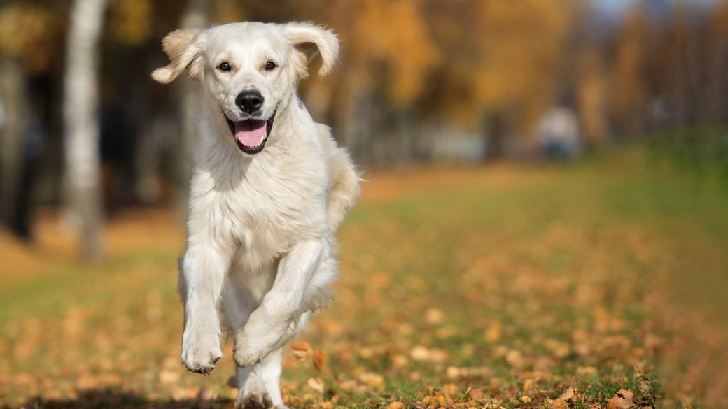 large dog running through autumn leaves