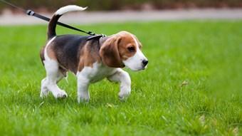 beagle puppy on walk on lead