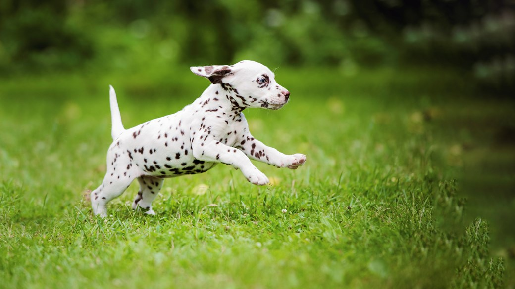 dalmation puppy running through field