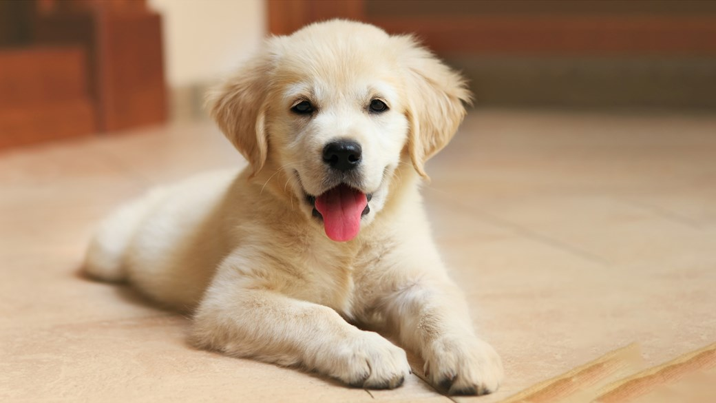 labrador puppy happy