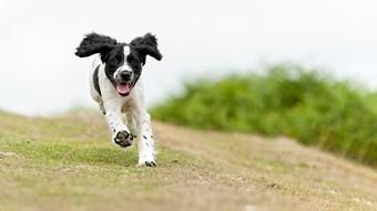 Spaniel puppy running