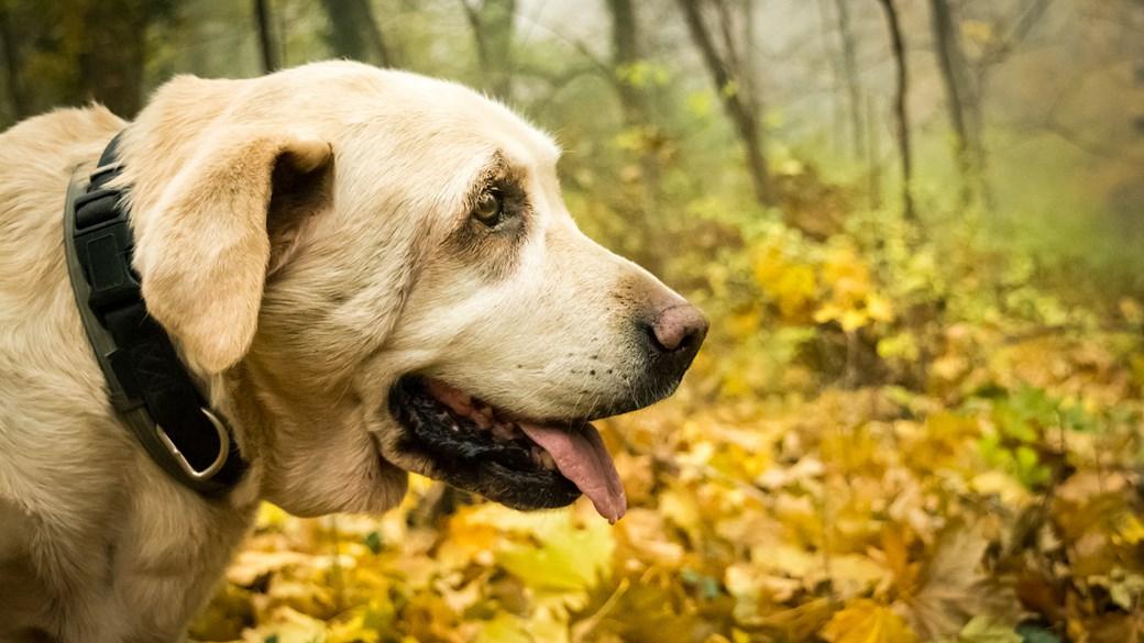 senior dog close up