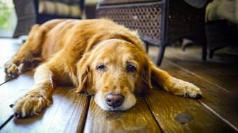 senior dog lying down