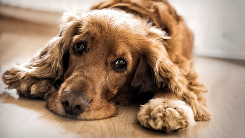 spaniel dog lying on floor