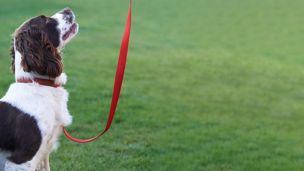 spaniel dog on walk