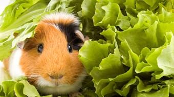 guinea pig food diet