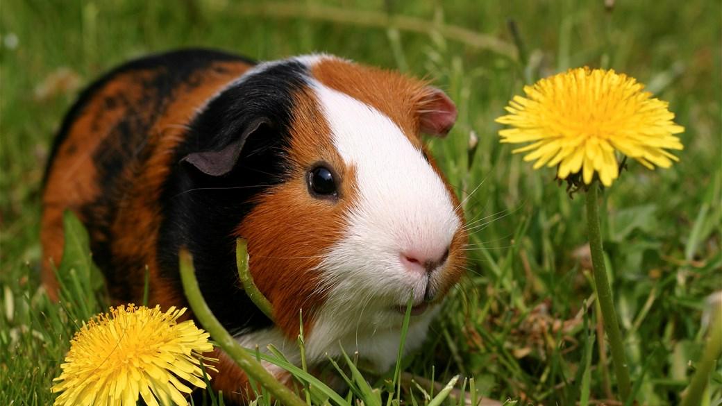 guinea pig outside in garden