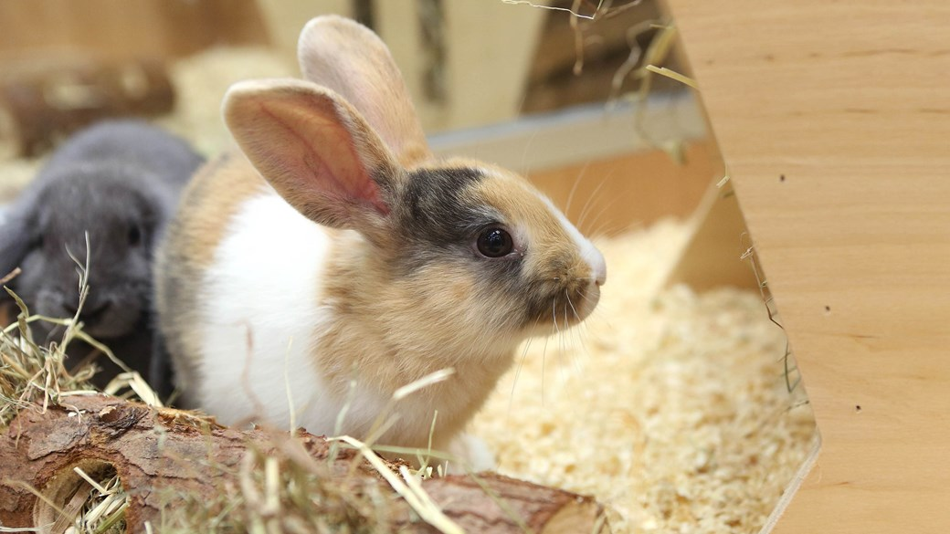 rabbit in hutch