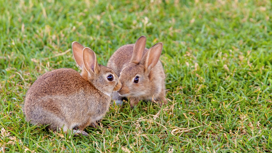 two rabbits playing